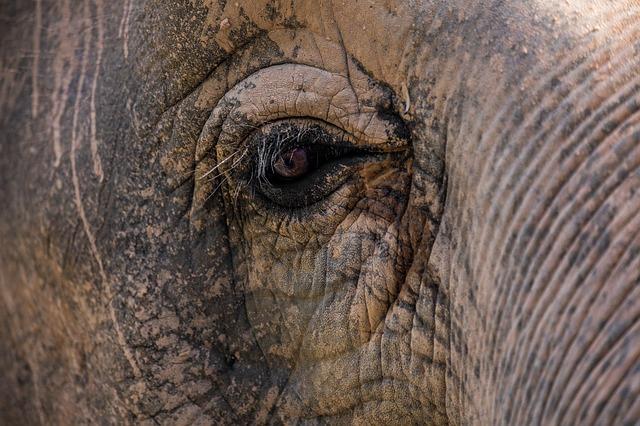 oko slona